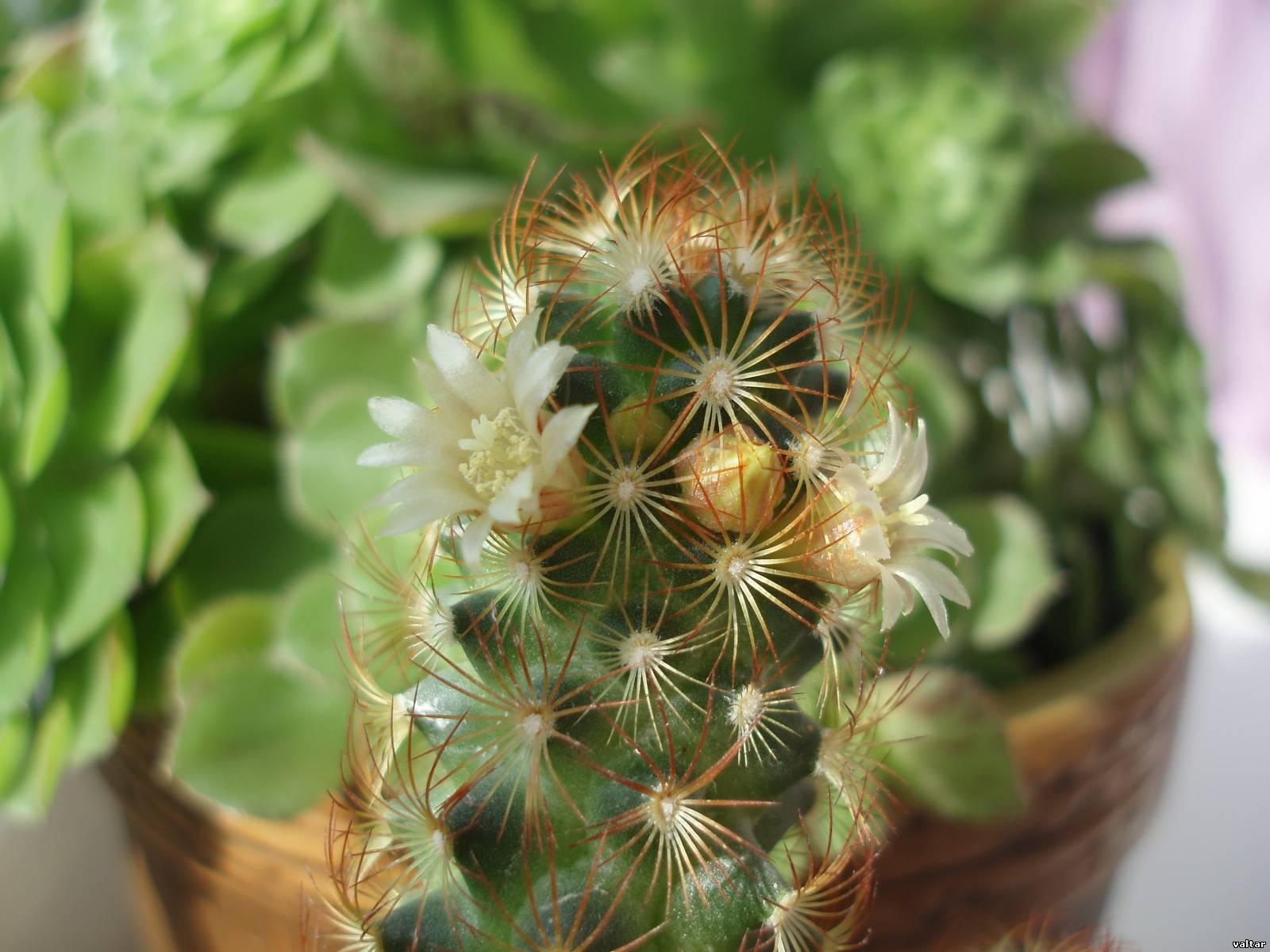 Цветы кактусы фото с названием